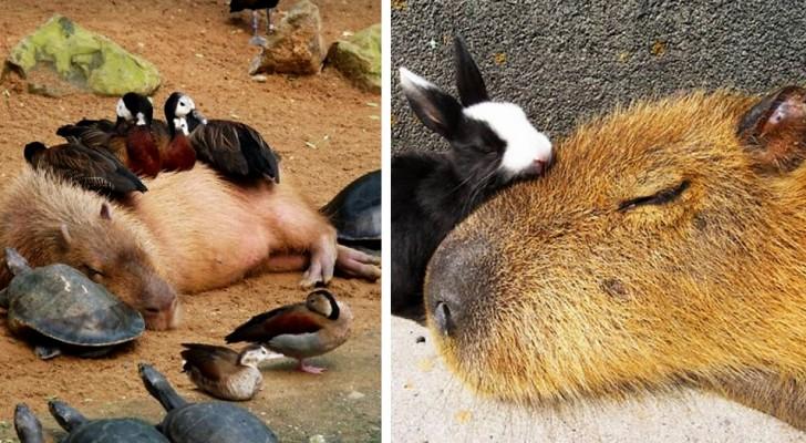 Capibara's zijn knaagdieren die zo sociaal zijn dat ze met vrijwel iedereen vriendschap kunnen sluiten