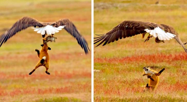 Un fotografo ha immortalato la drammatica lotta tra una volpe e un'aquila calva per il possesso di un coniglio