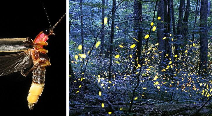Les lucioles risquent de s'éteindre à jamais à cause de la pollution lumineuse : la science le confirme