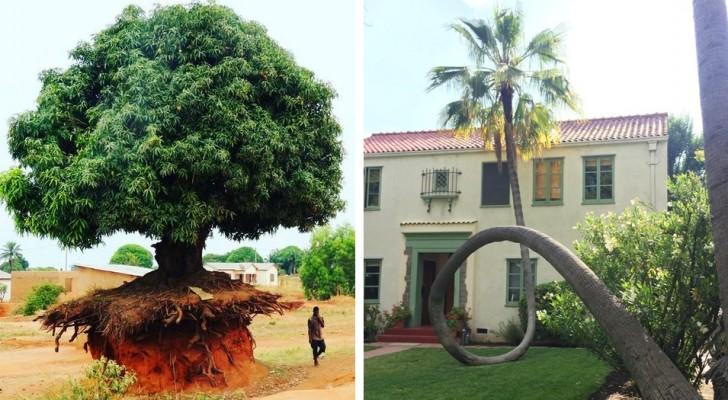 11 alberi che non hanno voluto saperne di morire e si sono adattati alla loro nuova vita