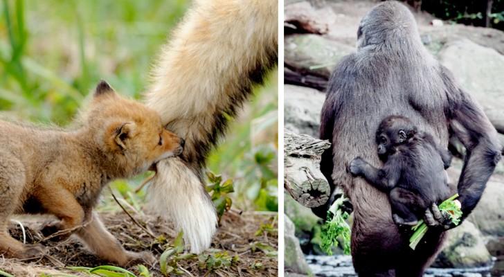 15 genitori del regno animale che sanno essere amorevoli tanto quanto gli umani, e forse di più