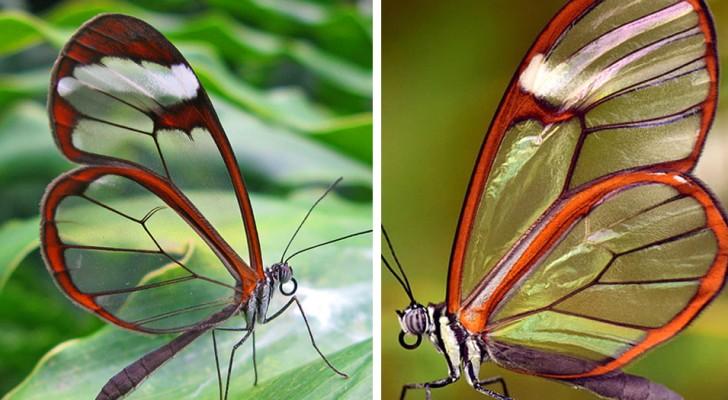 Le farfalle ali di vetro sono così traslucide che sembrano uscite da un film di fantascienza