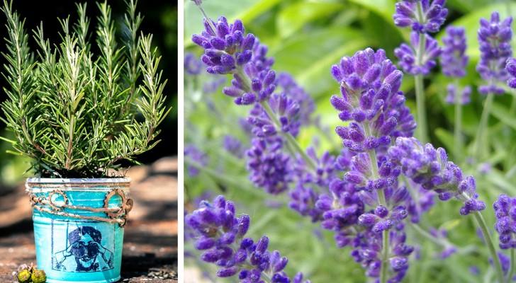 7 piante repellenti contro le zanzare: in vaso o in giardino tengono alla larga gli insetti nelle serate estive