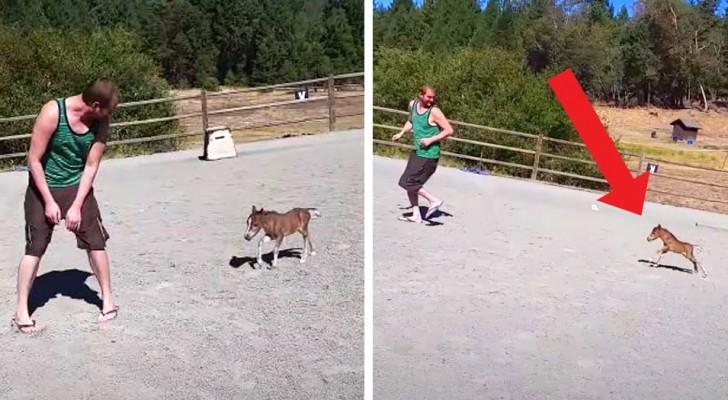 Un mini-cavallo nato da 3 giorni non riesce a smettere di inseguire il suo amico umano in un recinto