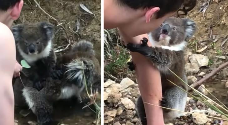 Un cucciolo di koala curioso si arrampica sul braccio di un umano: ha trovato un nuovo amico