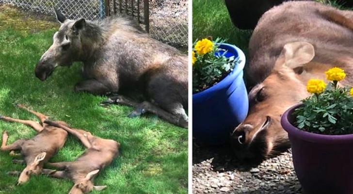 """Moeder eland en haar 2 jongen """"overvallen de tuin van een huis en brengen daar de hele dag door"""