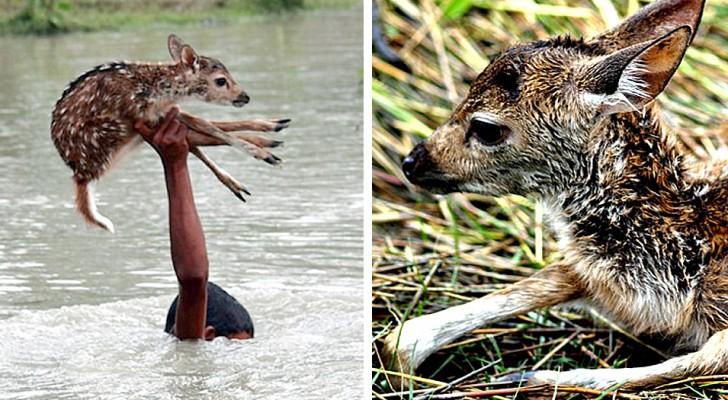 Junge springt in reißenden Fluss, um ein Rehkitz zu retten