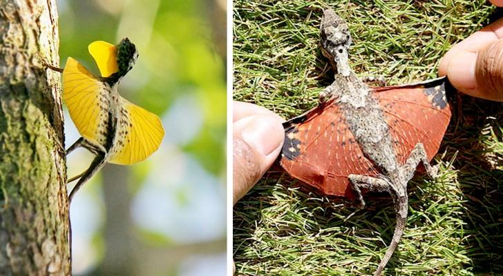 In Asien gibt es fliegende Eidechsen, deren Membranflügel Miniaturdrachen ähneln