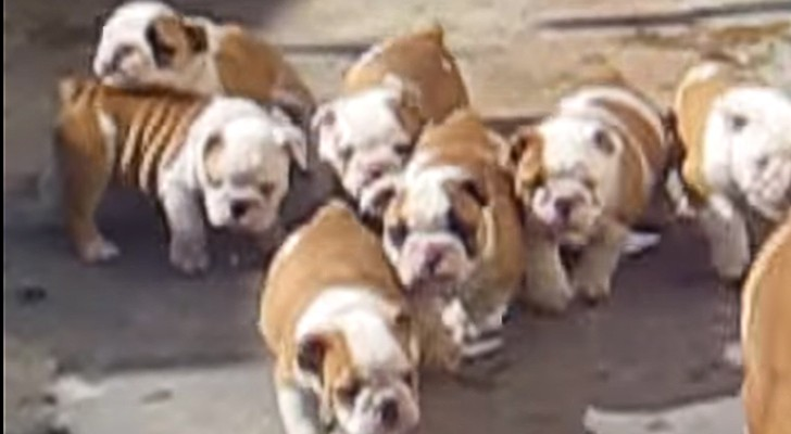 Die Jagd der kleinen Bulldoggen... aber was wollen sie denn nur?