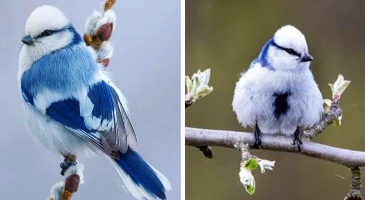 La Cincia Azzurra è un meraviglioso uccellino dai colori glaciali che ricorda un fiocco di neve