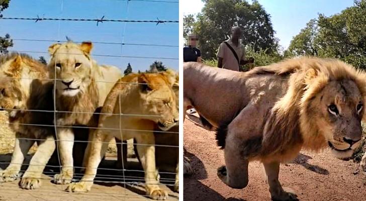 12.000 leoni allevati in cattività per essere uccisi dai turisti: le rivelazioni shock di un'indagine