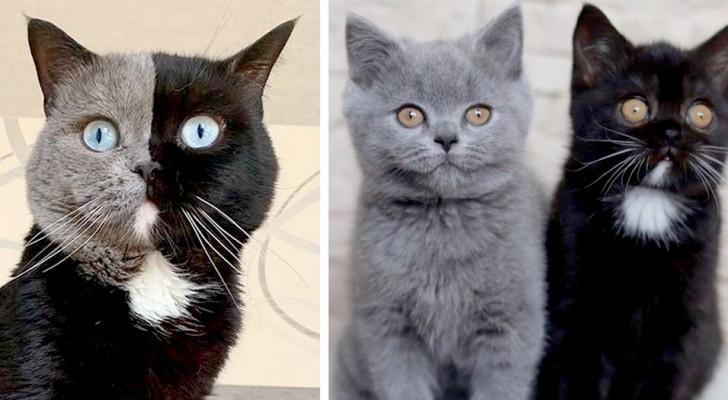 Eine Katze mit einem zweifarbigen Gesicht wird Vater von zwei Jungen: eines ist schwarz, das andere grau...