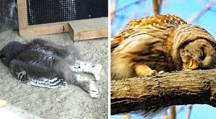 Les bébés hiboux dorment sur le ventre comme nous, les humains, parce que leur tête est trop lourde