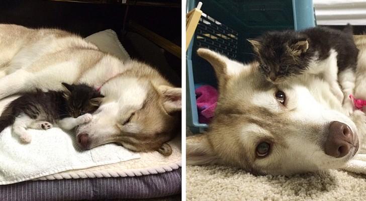 """Een verlaten kitten wordt """"geadopteerd"""" en opgevoed door een Husky: nu gedraagt ze zich als een hond"""