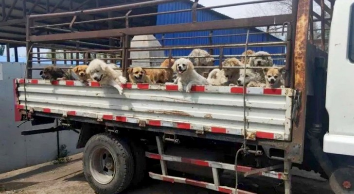 Un gruppo di animalisti salva 50 cani destinati al festival della carne canina di Yulin