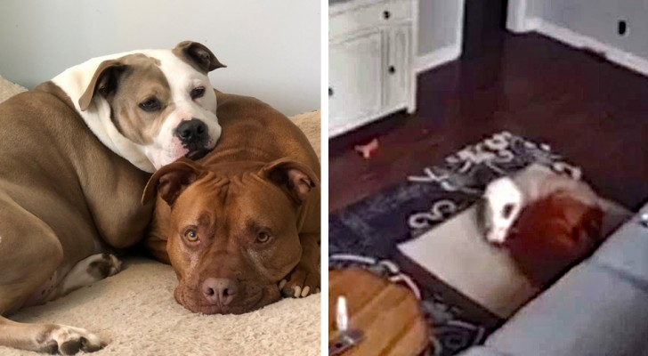 Un cane altruista porta il suo letto vicino al suo amico malato per confortarlo in un momento difficile