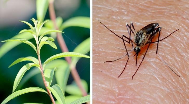 Citronella: la pianta aromatica che allontana le fastidiose zanzare e ha proprietà rilassanti e antinfiammatorie