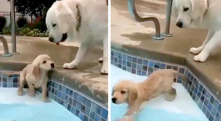 Un cucciolo di Golden Retriever impara a nuotare in piscina sotto lo sguardo premuroso della mamma