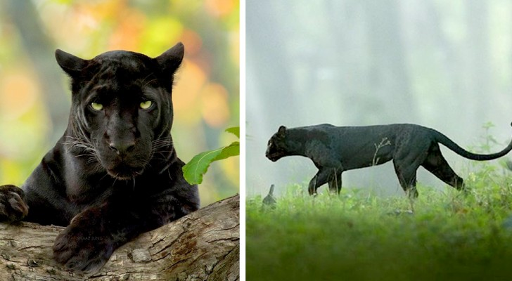 Un fotografo immortala una pantera nera nella foresta in tutta la sua eleganza e maestosità