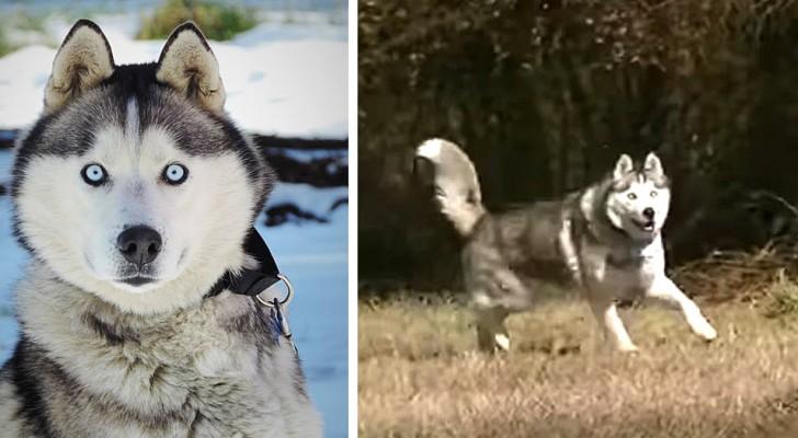 Na jarenlang aan de ketting te hebben geleefd, is deze Husky gered en kan hij eindelijk vrij rondlopen
