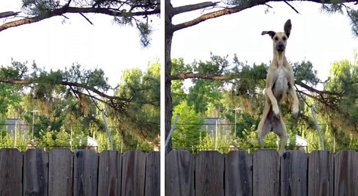 Deze hond heeft geleerd de trampoline te gebruiken om voorbij het hek te kijken: haar zien springen is zo leuk