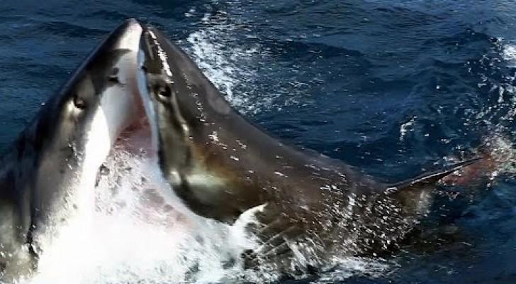 Une caméra filme un comportement très rare pour les requins blancs