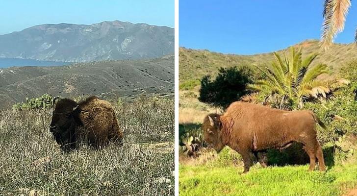 In 1924 liet een filmploeg 14 bizons achter op een eiland: nu vormen ze een echte kolonie