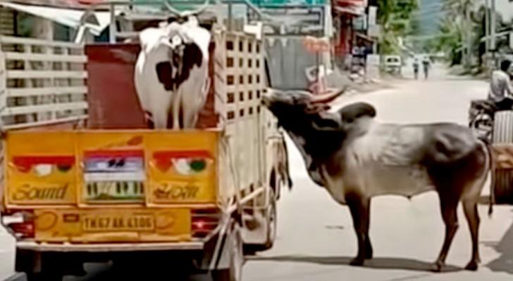"""Ein """"verliebter Stier versucht, den LKW aufzuhalten, auf dem seine geliebte Kuh weggebracht wird"""