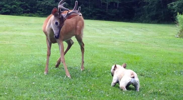 Un ciervo entra en jardin, pero el pequeño bulldog no se deja atermorizar...