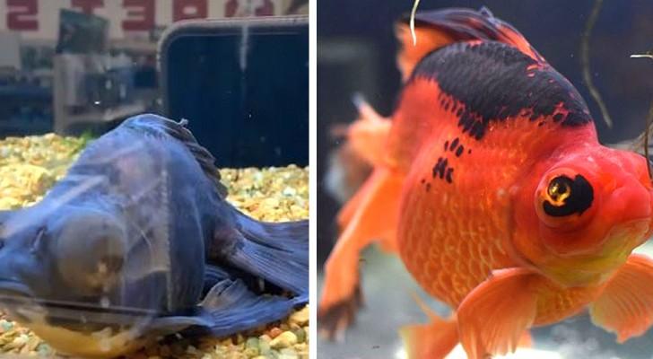 Une femme sauve un poisson mourant trouvé dans un magasin : il recommence à nager et change de couleur