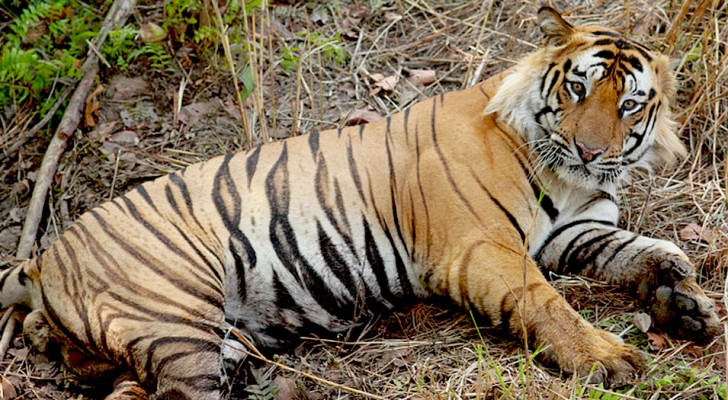India: la popolazione delle tigri nel paese asiatico è quasi raddoppiata in 12 anni