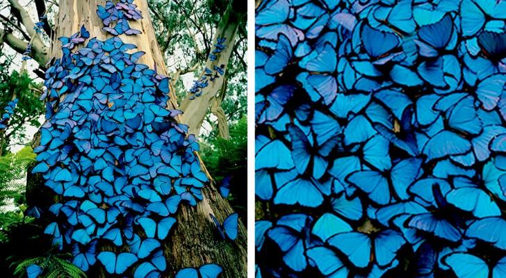 Een fotograaf vereeuwigt een boom die bedekt is met honderden blauwe vlinders: het ziet eruit als een sprookjesachtige scène
