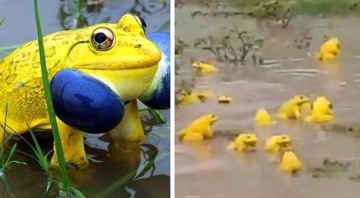 Un ragazzo è riuscito a filmare una moltitudine di rane gialle che si godono il temporale