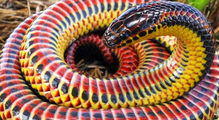 In freier Wildbahn wurde eine seltene Regenbogenschlange gesichtet: ein vielfarbiges und nicht aggressives Reptil