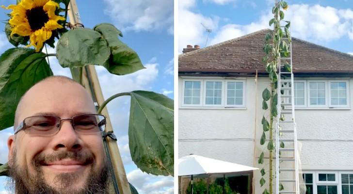 Un uomo pianta in giardino un girasole che è riuscito a superare i 6 metri di altezza