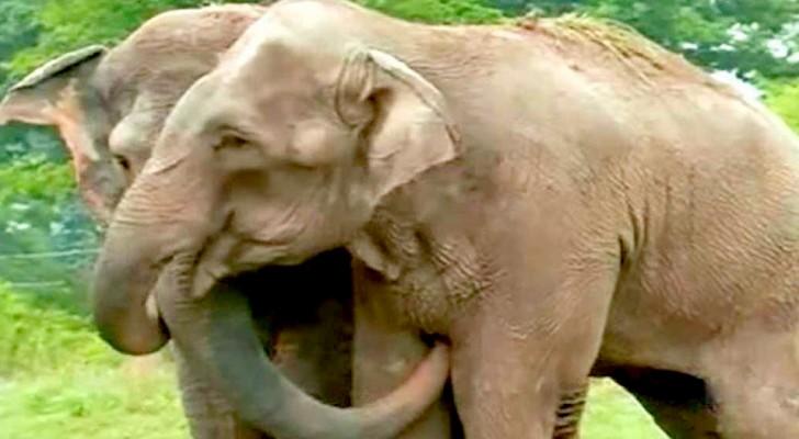 Dois elefantes resgatados de um circo cruel se reencontram após 22 anos: as imagens do encontro são comoventes