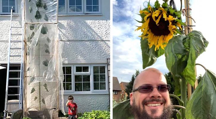 Pour rendre son fils heureux, il décide de cultiver un tournesol record : la plante fait plus de 6 m de haut