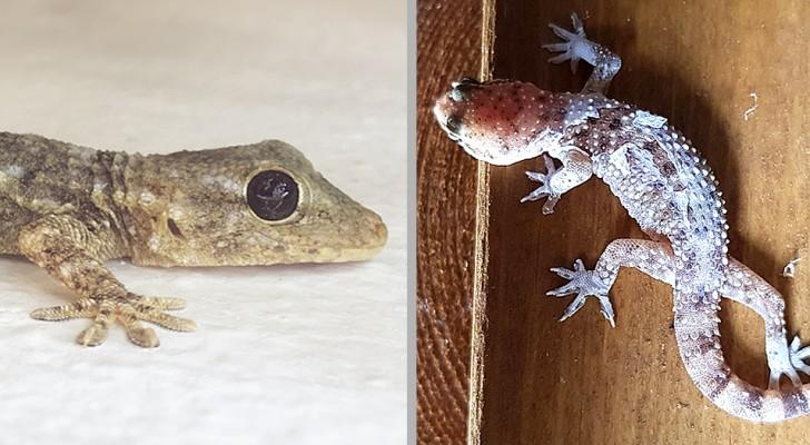 I gechi: rettili agili, portafortuna e mangia-insetti che non andrebbero mai scacciati