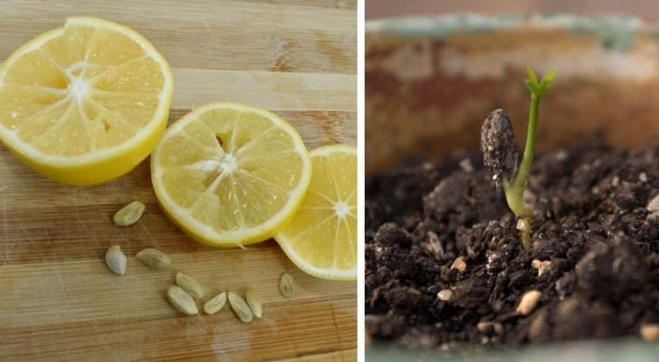 Come far crescere una piccola pianta di limone in casa utilizzandone i semi