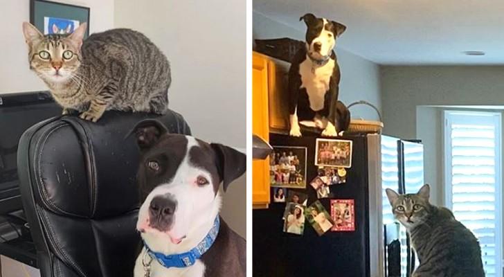 Questo pitbull è un vero gatto mancato: si comporta come i suoi amici felini e ha le loro stesse abitudini