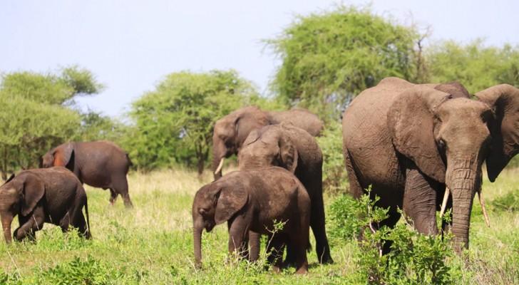 Boom di nascite di elefanti in Kenya grazie all'abbondanza di piogge: i nuovi cuccioli sono almeno 170
