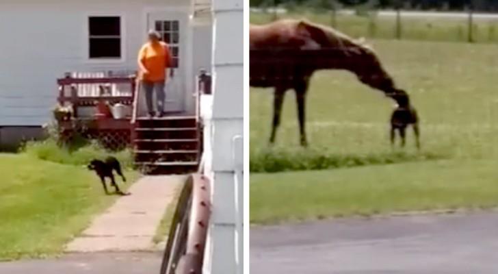 Chaque jour, ce chien généreux apporte une carotte à son ami cheval pour le goûter