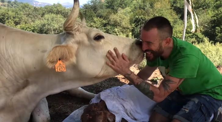 Deze jongen hielp een koe in moeilijkheden bij de bevalling: ze dankt hem met genegenheid
