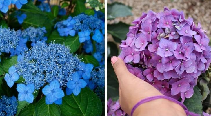 4 conseils à suivre pour avoir de beaux hortensias luxuriants et colorés à la maison