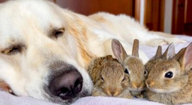 Un Golden Retriever con un corazón de oro cuida a sus cachorros de conejo: piensan que es su segunda mamá