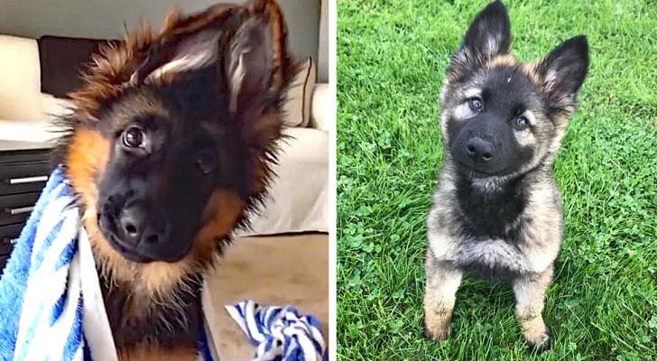 13 Duitse herder-pups die een echt concentraat van tederheid zijn