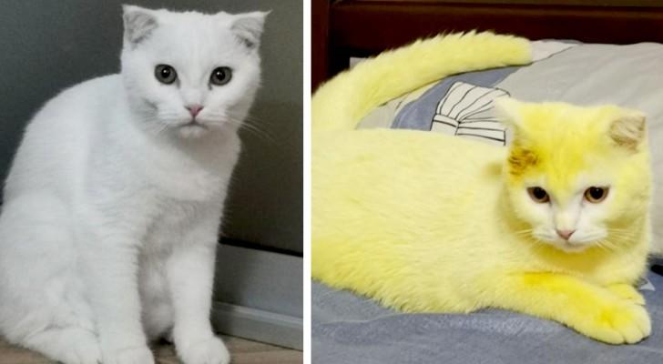 Ein weißes Kätzchen färbt sich ganz gelb, nachdem Frauchen eine Infektion mit einem Kurkuma-Peeling geheilt hat