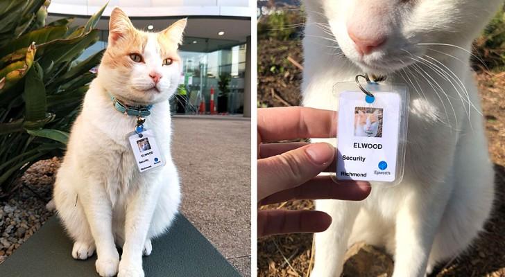 Un chat erre pendant un an dans la cour d'un hôpital : à la fin, il est engagé comme agent de sécurité