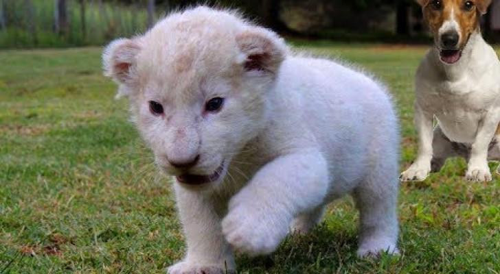 Den vita lejonungens föräldrar är minst sagt olika honom själv