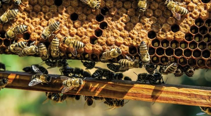 Bienengift soll in der Lage sein, selbst die aggressivste Form von Brustkrebs zu töten: So eine neue Studie